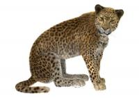 35546833 3d digital render of a big cat leopard or panthera pardus isolated on white background