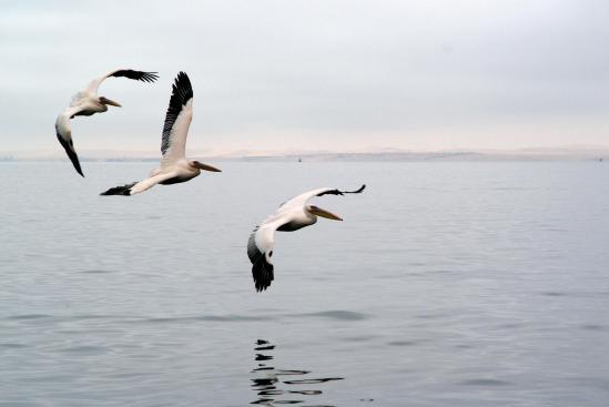Pe licans a walvis bay
